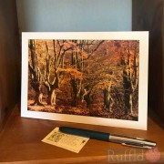 Card - Ancient Beech Trees in Autumn